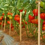 Trồng rau, trái cây thu nhập gấp 4-5 lần trồng lúa