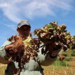 Nông dân Đà Lạt điêu đứng vì rau nhiễm virus lạ
