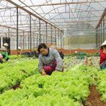 Nông dân Lâm Đồng gặt hái quả ngọt từ nông nghiệp hữu cơ