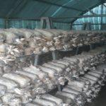 Sản xuất nấm – Hướng đi mới cho nông dân