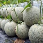 Trồng dưa lưới giữa mùa nắng nóng 10 trái đẹp cả 10 bán đắt hàng