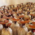 Đưa bã mía mùn cưa trồng nấm linh chi